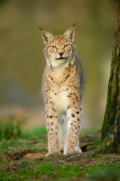 Eyes on me! - A young lynx in the evening sun.