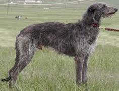 Lebrel escoces ( Deerhound)
