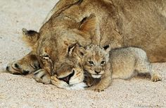 Lioness and newborn cub on sand