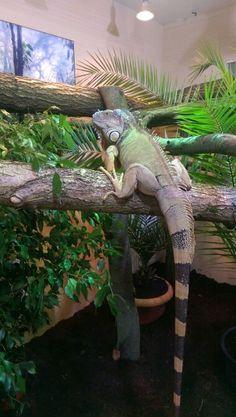 Iguana iguana, leguan, terrarium Turtle Habitat, Reptile Habitat, Reptile Room, Reptile Cage, Les Reptiles, Cute Reptiles, Reptiles And Amphibians, Pond Animals, Cute Animals