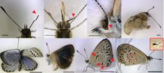 Mutations included malformed antennae, dented eyes, bent wings, and abnormal color patterns. Photo courtesy of Joji M. Japan Nuclear, Nuclear Disasters, Fukushima, Tsunami, Mythical Creatures, Color Patterns, Insects, Butterfly, Japanese