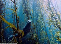 A harbor seal in a kelp forest at Cortes Bank, near San Diego, California (photo by Kyle McBurnie)