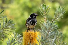 A New Holland Honeyeater sits on top of a banksia flower at the Canberra Botanical Gardens. These birds were really enjoying the plants and sunshine and provided great photo opportunities.  The New Holland Honeyeater is mostly black and white, with a large yellow wing patch and yellow sides on the tail. It has a small white ear patch, a thin white whisker at the base of the bill and a white eye. This honeyeater is an active bird, and rarely sits still long enough to give an extended view.