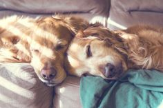 This is the sweetest thing, two Golden Retrievers napping together.