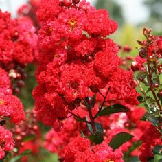 Ruffled Red Magic™ Crape Myrtle - If you ever dreamed of a crape myrtle that looked like a carnation, look no further. 'Ruffled Red Magic' sports frilly, luscious red blooms with gold centers. Its upright habit and dense branching ensures a heavy display of flowers at least twice a season, if deadheaded. Many red-flowered crape myrtles suffer from a variety of foliar diseases, but 'Ruffled Red Magic' doesn't. That clean, shiny foliage lasts all season to finally turn bright orange in autumn.
