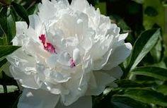 peony flower - Google Search