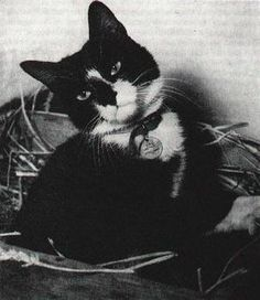 Simon (c. 1947 – 28 November was the ship's cat who served on the Royal Navy sloop-of-war HMS Amethyst Simons Cat, Gato Simons, Brave Animals, Killing Rats, Cat Names, Military History, Naval History, Cats And Kittens, Animales