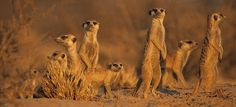 meercats South Africa, Camel, African, Image, Beautiful, Bactrian Camel
