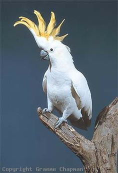The Sulphur-crested Cockatoo is a large white parrot. It has a dark grey-black bill, a distinctive sulphur-yellow crest and a yellow wash on the underside of the wings. Sexes are similar, although the female can be separated at close range by its red-brown eye (darker brown in the male). This is a noisy and conspicuous cockatoo, both at rest and in flight. Young Sulphur-crested Cockatoos resemble the adults.