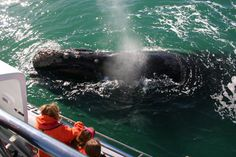 South African whale watching boat tours with Dyer Island Cruises. Get close to Whales in Hemanus, South Africa. We doTransfersfrom Cape Town and Hermanus. Whale Watching Boat, Whale Watching Tours, Bird Watching, Port Elizabeth, Adventure Activities, Countries Of The World, Kayaking, South Africa, Whales