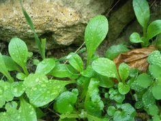 cueillette de plantes sauvages (doucette, pissenlit, pâquerette, violette...) par saison