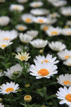 Marguerite by taitetsu, via Flickr