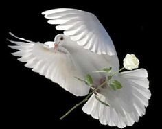 ,Deliver a rose for . - by a Pigeon (G+),; Beautiful Birds, Animals Beautiful, Beautiful Gif, Dove Release, Dove Pigeon, Pigeon Bird, Dove Bird, Saint Esprit, White Doves