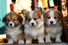 my next Corgi will be a long-haired just like these sweet little ones