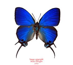 Insect Designs :: Butterflies and Moths :: Lycaenidae :: Thecla ...