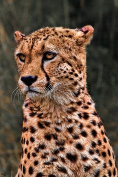 Beautiful Cheetah Photo