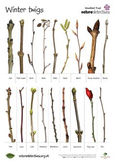 Ah, now THIS is useful to those of us who have trouble identifying trees and shrubs when the leaves are off! Natura Plant, In Natura, All Nature, Nature Study, Horticulture, Plant Identification, Forest School, Nature Journal, Plantation