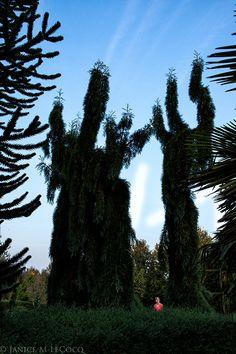 Sequoiadendron giganteum 'Pendulum', conifers, weeping giant sequoia