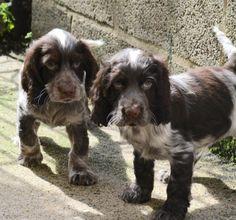 Energetic Chocolate Roan Cocker Spaniel pups - Pedigree Puppies For Sale