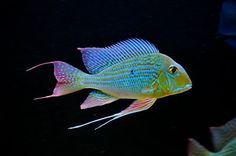Aquariums Provide Relaxing Entertainment Owning a fish aquarium can be a very relaxing hobby. Cichlid Aquarium, Cichlid Fish, Discus, Tropical Fish Aquarium, Freshwater Aquarium Fish, South American Cichlids, Cool Fish, Water Animals, African Cichlids
