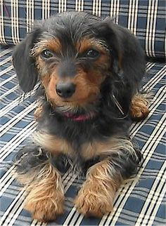 Angel The Black And Tan Dorkie Puppy Is Laying On A Blue White Plaid Couch