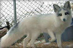 Arctic marble fox