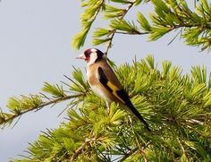 Cardellino or Goldfinch in Villa Miramonti holiday apartment gardens yesterday. Come and relax here in Le Marche, Italy!