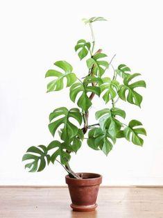 Nature Plants, Cool Plants, House Plants Decor, Plant Decor, Japanese Indoor Plants, Indoor Garden, Garden Plants, Palm Plant, Plant Pictures