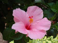 hibiscus flower blooming season