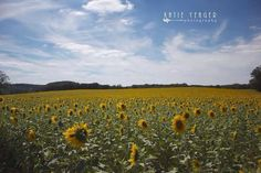 Sunflowers go on forever in Harford County Maryland