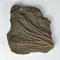 Very little is known about this fossil sea lily from the Sladen collection. The images show both sides of this fossil - intact stems on one side and star-shaped fragments on the other.