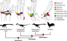 ¿Cómo se convirtieron las patas de los dinosaurios en alas de pájaros? los huesos de la muñeca de los dinosaurios que han evolucionado a las actuales alas de los pájaros.