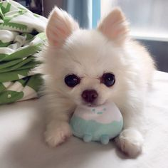 Post with 1302 views. Frances resting on her mountain toy Cute Puppies, Dogs And Puppies, Doggies, Chihuahuas, Pomeranians, Animal Pictures, Cute Pictures, Baby Chihuahua, Funny Cute