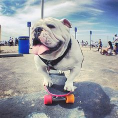 Image: Beefy the skateboarding dog in New York on Aug. 17 (© Patrick Clemens/Caters News)