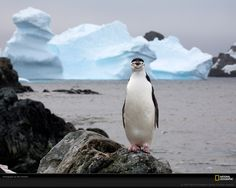 Chinstrap Penguin, Antarctic Peninsula, Antarctica, 2006  Photograph by Paul Nicklen
