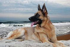 King Of The Beach - German Shepherd Dog Photograph