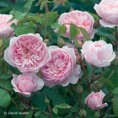 "David Austin Rose ""Wisley 2008®"""