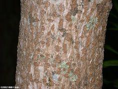 Fringetree (Chionanthus virginicus) Fringe Tree