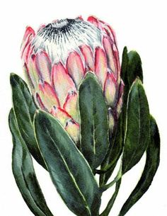 Items similar to Watercolor Protea flower painting print South African indigenous fynbos on Etsy Protea Art, Flor Protea, Protea Flower, Art And Illustration, Watercolor Illustration, Illustrations, Art Floral, Watercolor Flowers, Watercolor Paintings