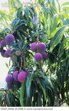 Purple Mango Fruit | Hawaii, Purple and green mangoes hanging on tree. [10049-30065-08 ...