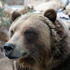 Cheyenne Mountain Zoo, Grizzly Bears, Digger, Brown Bear, Animals, Instagram, Animales, Animaux, Animal