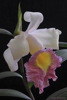 SOBRALIA - An orchid flower | Flickr - Photo Sharing!