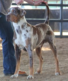 Red Leopard Catahoula. His name is Raptor