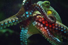 Octopus photographed by Christine Gerhardt