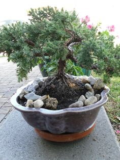 nana percumens....in a cheap pot...real bonsai are labor intensive....and require years of work to bring to perfection...