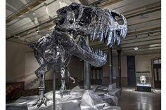 T.rex 'Tristan' at the Museum für Naturkunde, Berlin  Photo: Carola Radtke   http://paleontologyworld.com