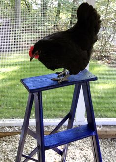 DIY: Chicken Run Ladder- Refurbish an old rickety ladder into fun for the flock!