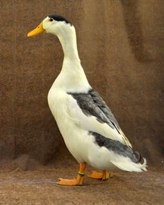 Magpie Duck - endangered heritage breed - good for meat and laying - related to runner duck?