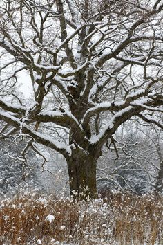 """richherrmann: """"This mighty Oak has weathered many snow storms, but I was the lucky one enjoying its presence this day. """""""