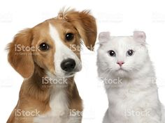 Mixed-breed puppy, and a American Curl cat, white background. royalty-free stock photo